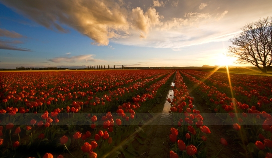 Looking Forward to the Skagit Valley Tulip Festival