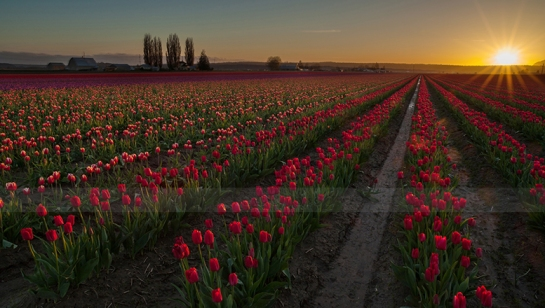 Never Enough Skagit Tulips