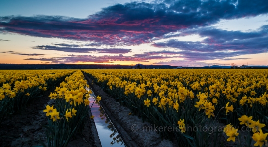 First Visit to the Skagit Valley for Daffodils