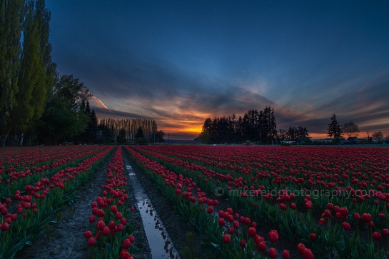Possibly the Last of the Skagit Tulips