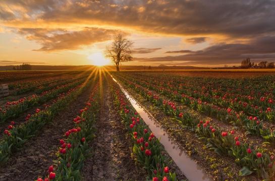 Skagit Tulip Fields Golden Light Sunset Sunstar