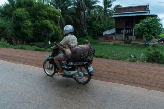 pig on scooter on the road to siem reap cambodia