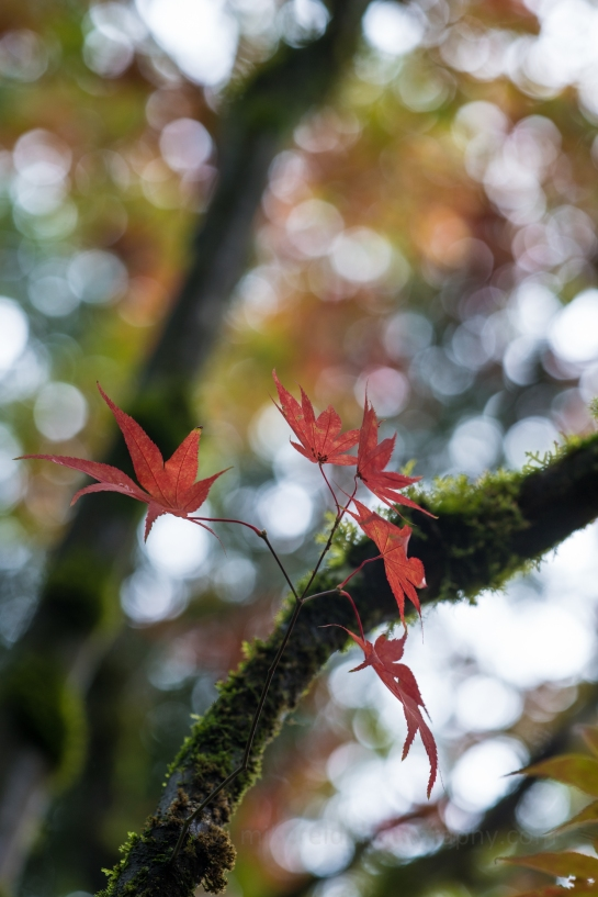 Acer Leaves Fall Colors Zeiss 85mm Otus