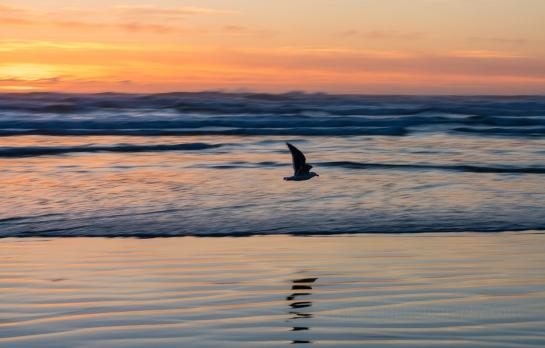 cannon beach sunset bird