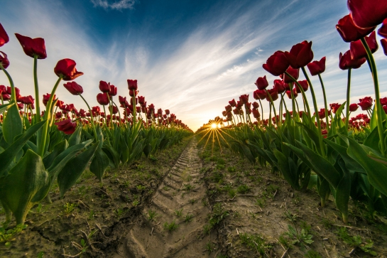 Skagit Valley Tulip Festival Canon 11-24mm lens on Sony A7r2