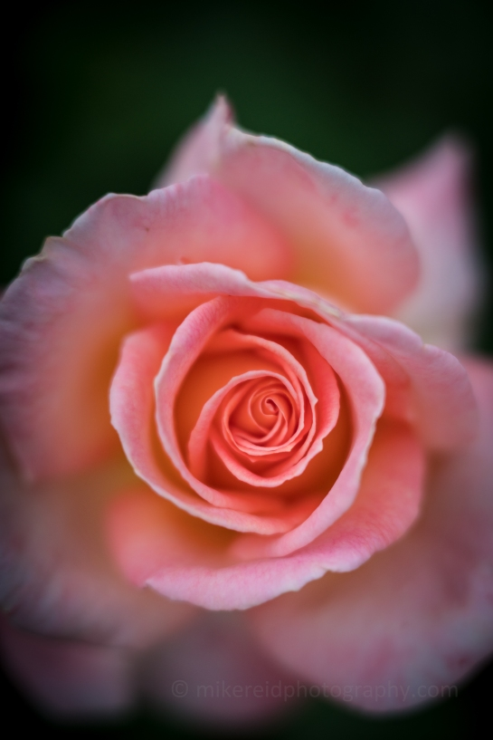 Woodland Park Zoo Rose Garden Rose Closeup Bokeh Zeiss 85mm Otus