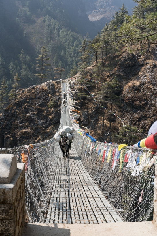 yak, nepal, everest base camp trek