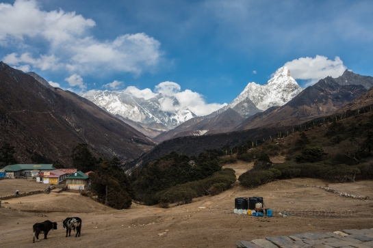 Animals Grazing in Tengboche With Everest and Ama Dablam Beyond