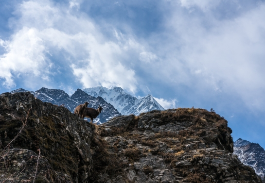 Brown Mountain Goats Watching Over the Trek to Everest Base Camp in Nepal