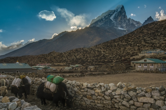 Yak Train Heading Through Dingboche at Dusk. Tabuche Peak Beyond