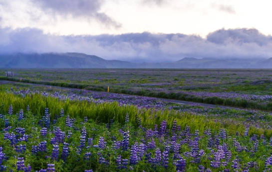 iceland road travel photography lupine
