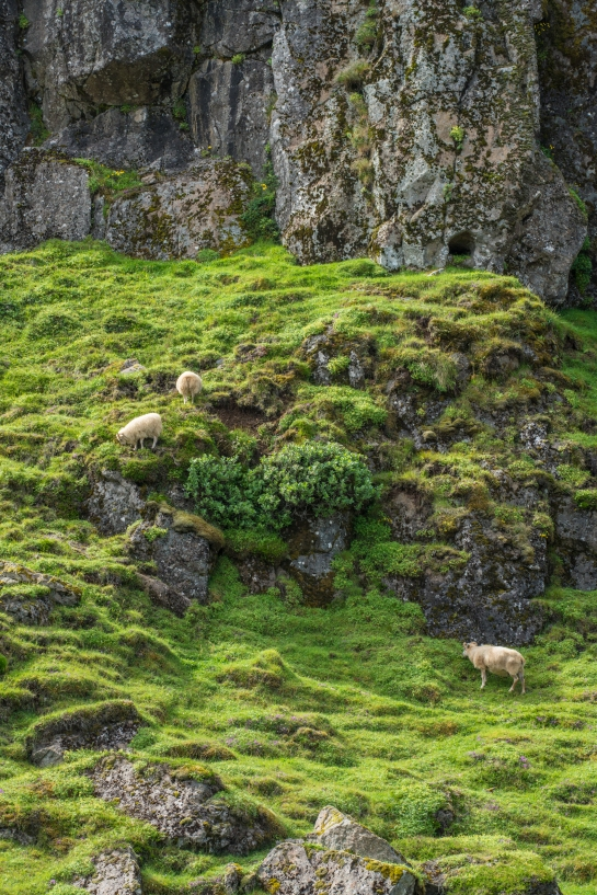 iceland sheep photography