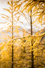 Golden Fall Colors Bokeh Zeiss 85mm Otus