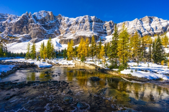 Opabin Plateau Golden Larches and Towering Mount Schaffer