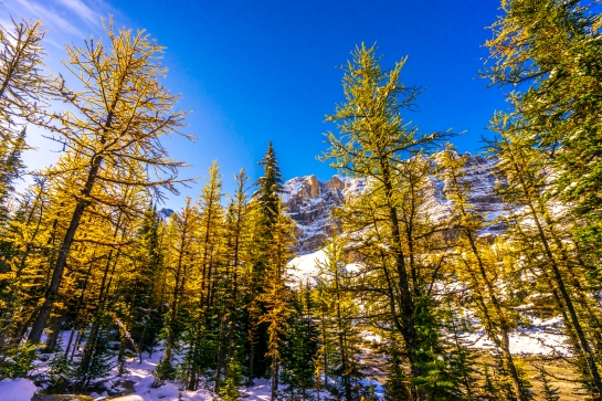 Opabin Plateau Golden Fall Colors  Larches