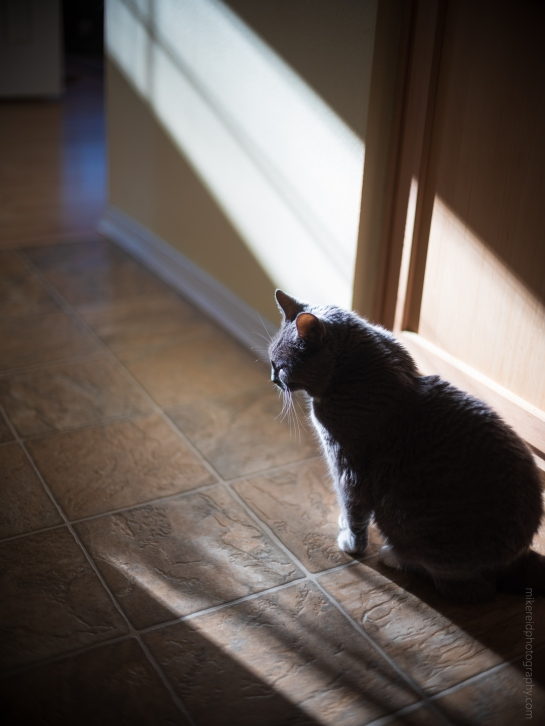 My Contemplative Cat Fuji GFX50s and Contax 50mm lens Handheld Shot