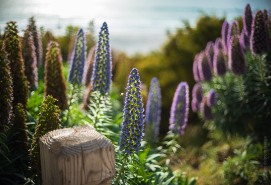 Purple Echium Blooms Along the Beach in Carmel - Zeiss 50/1.4 on Fuji GFX50s