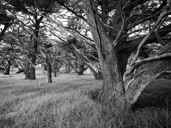 Black and White Cyprus Grove at Point Lobos - Fuji GF23mm on Fuji GFX50s