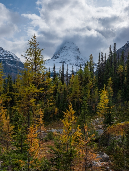Golden Fall Colors Leading to Mount Assiniboine